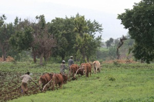 Livestock in Ethiopia offer a multiplicity of services